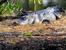 美国短吻鳄休息在沼泽地的,佛罗里达 免版税图库摄影