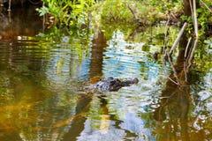 美国短吻鳄在佛罗里达沼泽地 大沼泽地国家公园在美国 库存照片