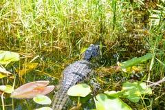 美国短吻鳄在佛罗里达沼泽地 大沼泽地国家公园在美国 库存图片