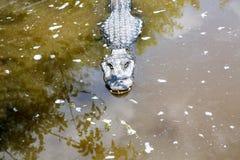 美国短吻鳄在佛罗里达沼泽地 大沼泽地国家公园在美国 免版税库存照片