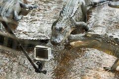 美国短吻鳄在佛罗里达沼泽地 库存照片