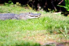 美国短吻鳄在南佛罗里达沼泽地 库存图片