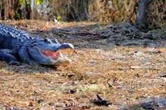 美国短吻鳄在沼泽地在佛罗里达 免版税库存图片
