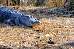 美国短吻鳄在沼泽地,佛罗里达 库存照片