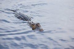 美国短吻鳄在热带湖 免版税库存图片