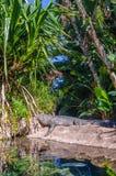 美国短吻鳄在Loro Parque,特内里费岛,加那利群岛 图库摄影