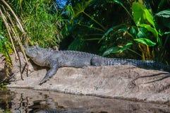 美国短吻鳄在Loro Parque,特内里费岛,加那利群岛 免版税图库摄影