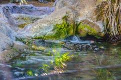 美国短吻鳄在Loro Parque,特内里费岛,加那利群岛 库存图片