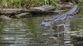 美国短吻鳄游泳到黑暗的池水里 库存照片