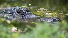 美国短吻鳄潜伏 免版税库存图片
