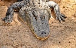 美国短吻鳄纵向。 HDR照片 免版税库存图片