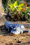 美国短吻鳄,佛罗里达沼泽地 库存图片