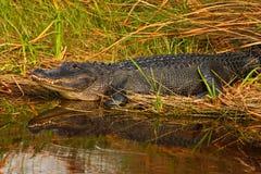 美国短吻鳄,鳄鱼mississippiensis, NP沼泽地,佛罗里达,美国 鳄鱼在水中 鳄鱼顶头水面上的su 免版税库存图片