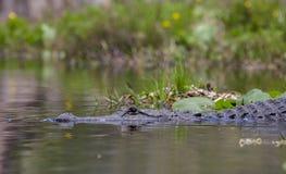 美国短吻鳄, Okefenokee沼泽全国野生生物保护区 库存图片