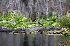 美国短吻鳄, Okefenokee沼泽全国野生生物保护区 库存照片