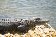 美国短吻鳄 库存图片