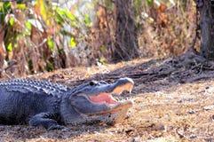 美国短吻鳄(mississippiensis)在沼泽地 库存图片