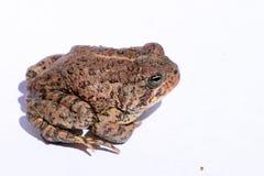 美国矮小的蟾蜍 免版税库存图片