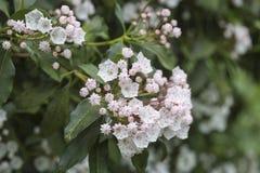 美国石南科latifolia、山月桂树、白棉布灌木或者spoonwood 免版税库存照片