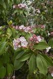 美国石南科latifolia花在绽放的 免版税图库摄影