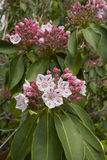 美国石南科latifolia花在绽放的 免版税库存图片