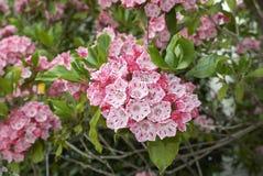 美国石南科latifolia 免版税库存图片