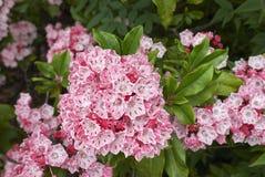 美国石南科latifolia 库存照片