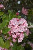 美国石南科latifolia 免版税图库摄影