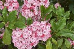 美国石南科latifolia 库存图片