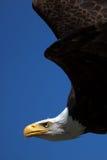 美国秃头接近的老鹰飞行 免版税库存图片