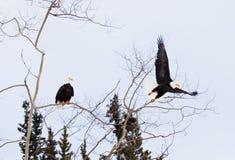 美国秃头老鹰乐队栖息和开始飞行 库存图片