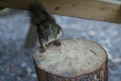 美国红松鼠乞求为食物 免版税库存图片