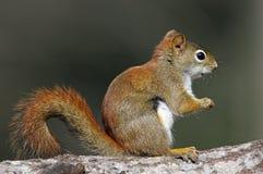 美国红松鼠& x28; 红松鼠hudsonicus& x29; 库存图片