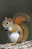 美国红松鼠& x28; 红松鼠hudsonicus& x29; 库存照片