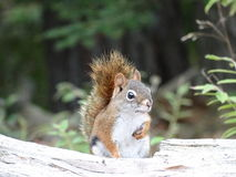 美国红松鼠 免版税库存图片