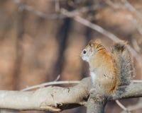 美国红松鼠 免版税库存照片