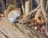 美国红松鼠 图库摄影