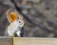 美国红松鼠 免版税图库摄影