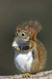 美国红松鼠& x28; 红松鼠hudsonicus& x29; 免版税库存图片