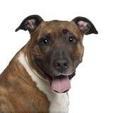 美国纵向斯塔福郡狗 免版税库存图片
