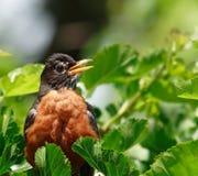 美国纵向知更鸟 免版税库存图片