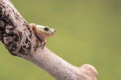 美国绿色雨蛙,灰质的雨蛙,在分支栖息,反对软的绿色背景 库存照片