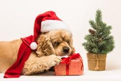 美国美卡犬咬礼物盒 库存照片