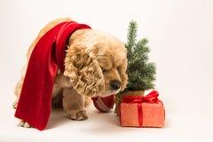 美国美卡犬嗅礼物 库存照片