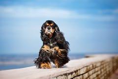 美国美卡犬在天空进来 库存图片