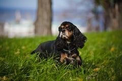 美国美卡犬在秋天 免版税图库摄影