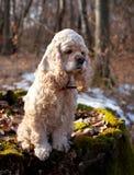 美国美卡犬坐日志 图库摄影