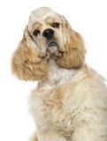美国美卡犬的特写镜头,被隔绝 免版税库存照片