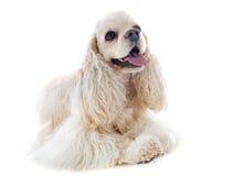 美国美卡犬 库存图片