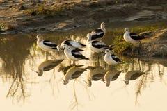 美国美国长嘴上弯的长脚鸟的Recurvirostra 免版税库存照片